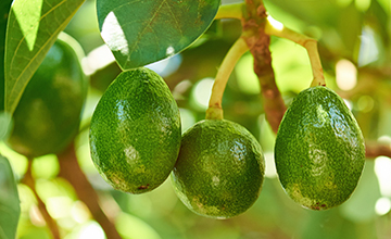 LoRa connected smart agriculture: avocado farms